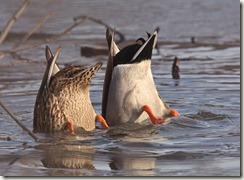 feeding-mallard-ducks_7356