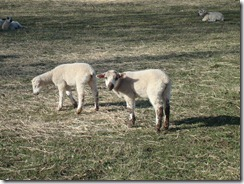 Too cute!  This is why I can't eat lamb.  Baa!