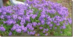 Leos Purple Flowers