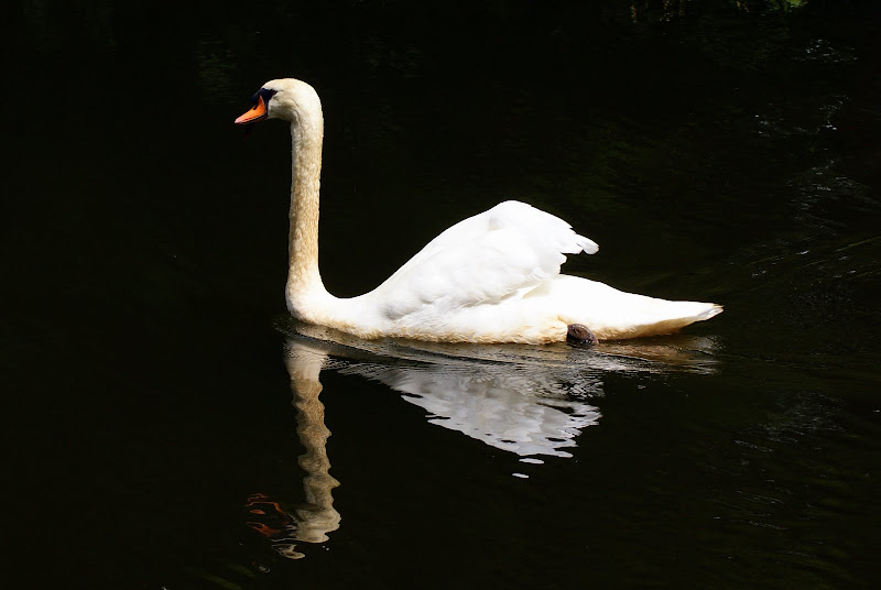 O reflexo do cisne