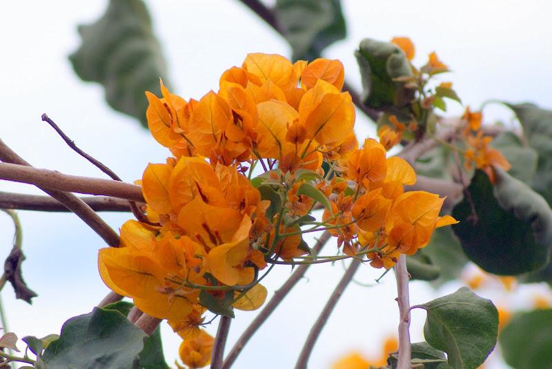 Bungavilia amarela