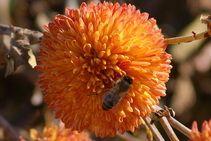 A abelha nas flores da minha mãe