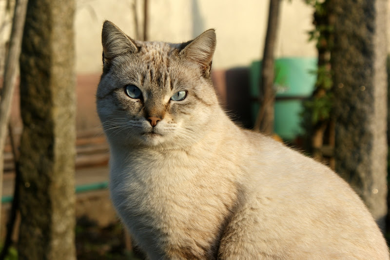 Gato de Alviães