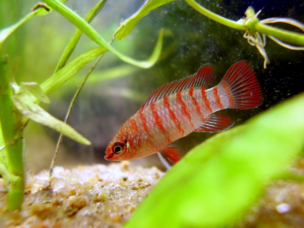Aquatic World: Dario Dario, the most colorful native fish for ...