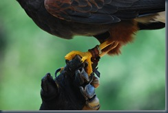 Claw of the Harris Hawk