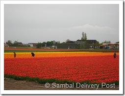 Keukenhof, tulips field for export