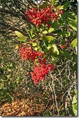 Fall-Toyon-Berries-1