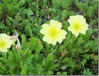 Stemless Evening Primrose