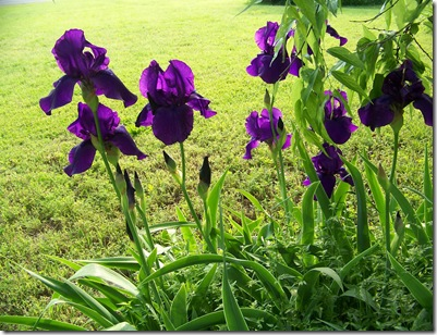 iris purple3