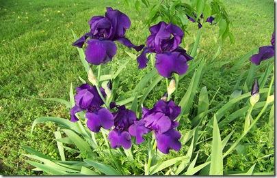 iris purple2