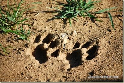 lion foot prints!