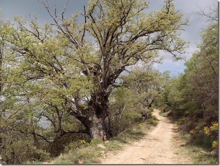 Robles de gran porte - Sierra de Gongolatz