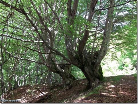 Hayas gemelas de Azparren - ruta árbol monumental espino de Azparren