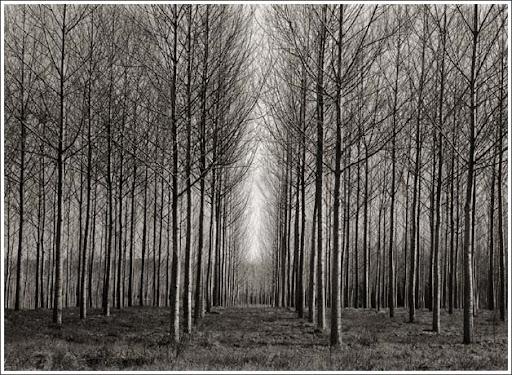 straight_trees_italy.J6VzQ9Fbf9LI.jpg
