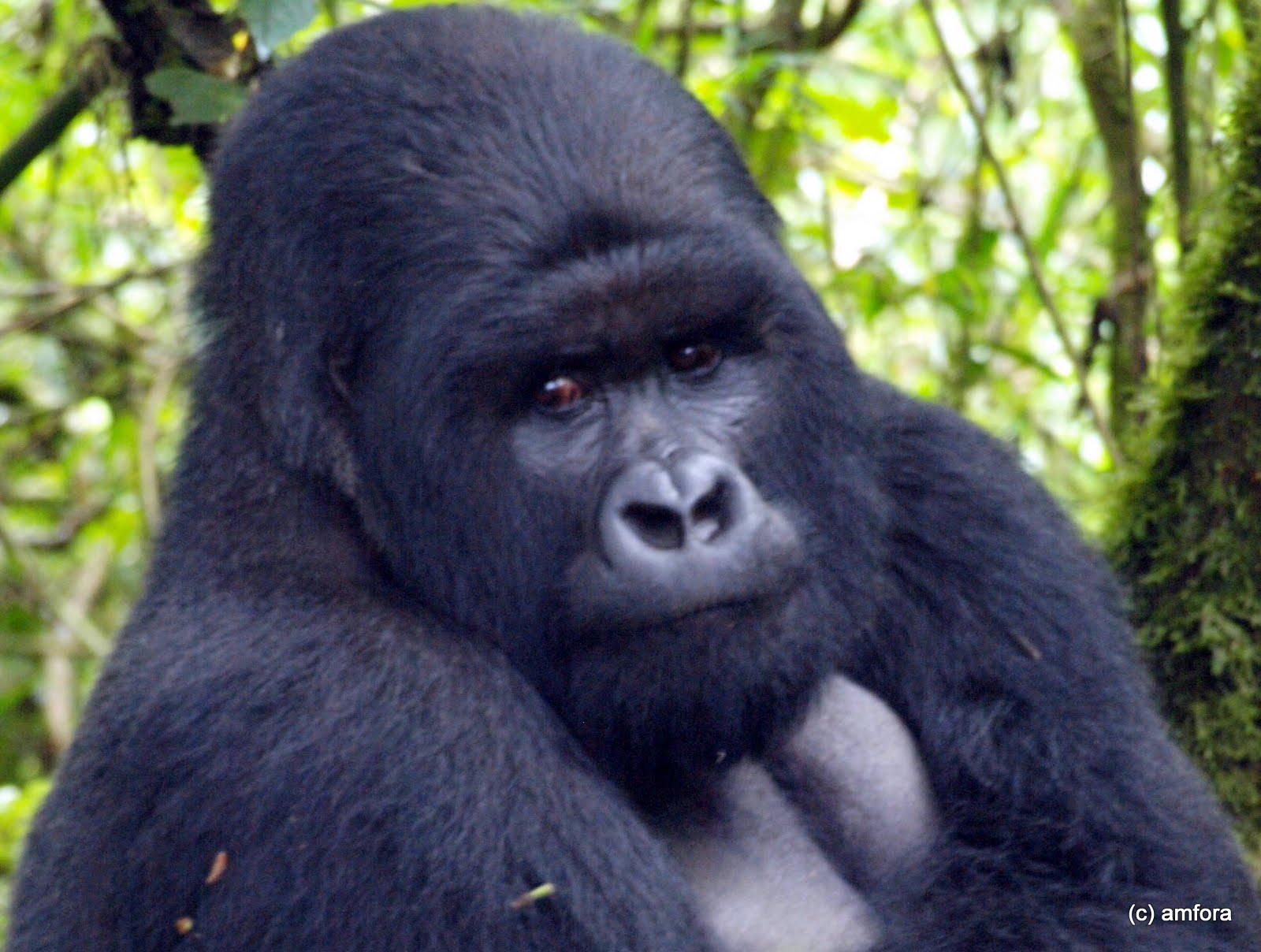 mountain gorilla, Rwanda, safari, tracking, travel blog