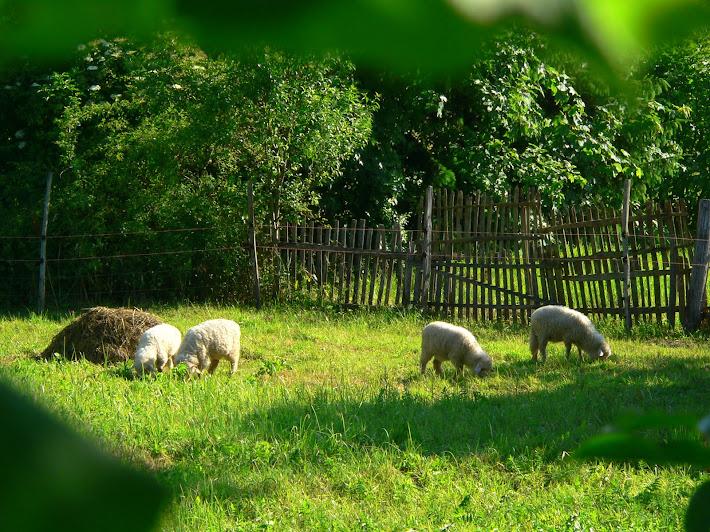 watching sheeps