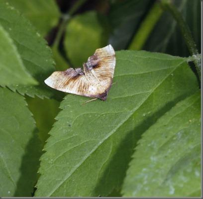 10_07_02_longfield_moths_scorched_wing