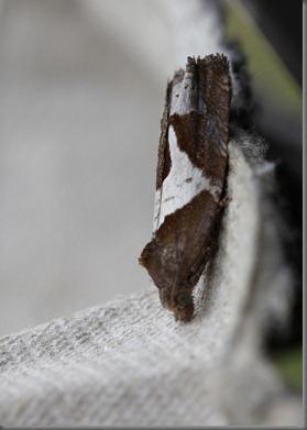 10_07_20_moths_063_epiblema_foenella