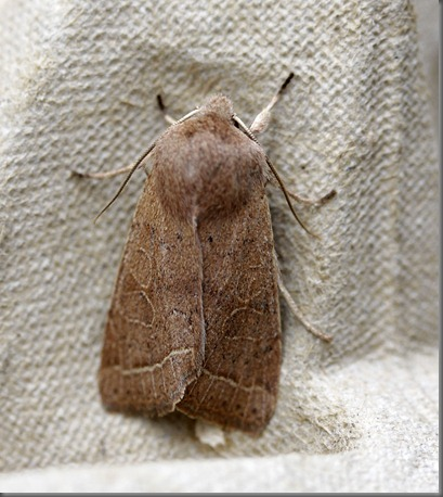 11_03_13_moths_086_common_quaker