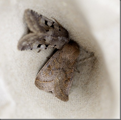 11_03_13_moths_083_common_quaker