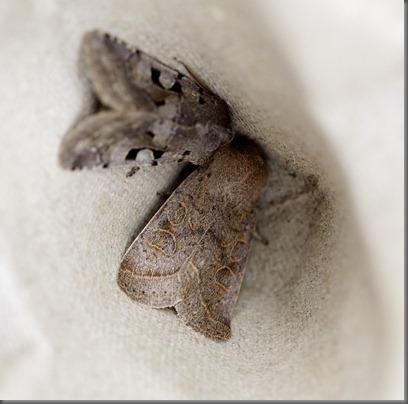 11_03_13_moths_083_common_quaker
