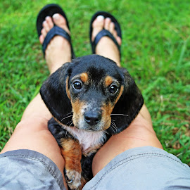Collin by Liv Hooker - Animals - Dogs Puppies ( barnabus and collin, puppy, beagle )
