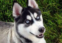 kurt köpek resmi
