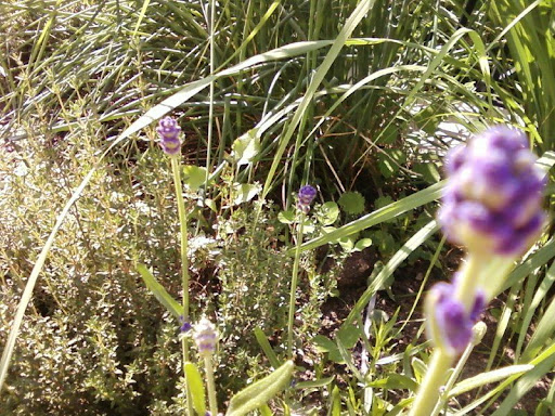 herb garden: lavender and thyme
