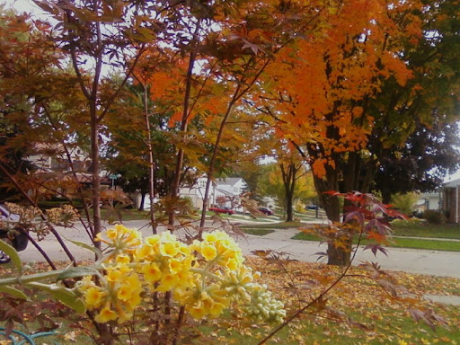 yellow butterfly bush, Japanese maple, and maple tree from front yard