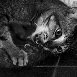 big bite by Adjie Tjokrosoedarmo - Animals - Cats Portraits (  )