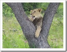 1-1227141660-lion-in-a-tree-relaxing
