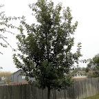 monterrey oak.jpg