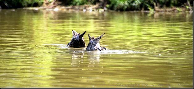 canards-tete-beche-sous-eau
