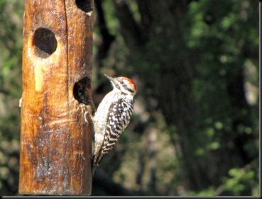 woodpecker [800x600]