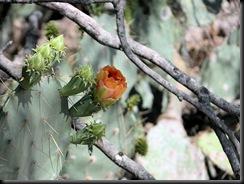 catcus bloom