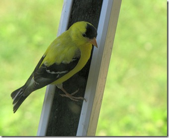 goldfinch7