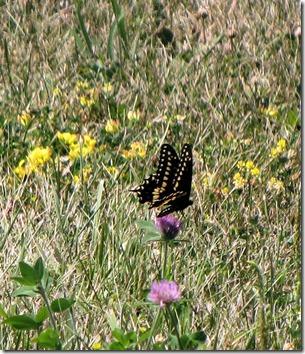 Black Swalowtail