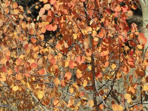 reddish aspen leaves