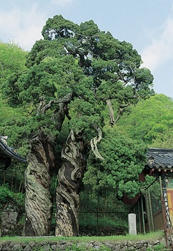 800-Year-Old Double Aromic Trees of Songgwangsa Temple