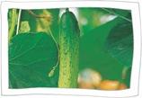 Chilgok Guemnam Cucumber