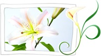 Chilgok Gansanri Lily