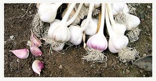 Uiseong Garlic
