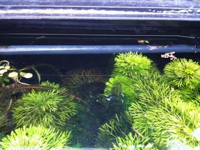 アンブリアの上に藍藻の塊