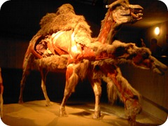 Body Worlds Exhibit 022