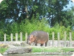 hippo watching! (2)