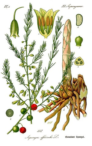 376px-Illustration_Asparagus_officinalis0b