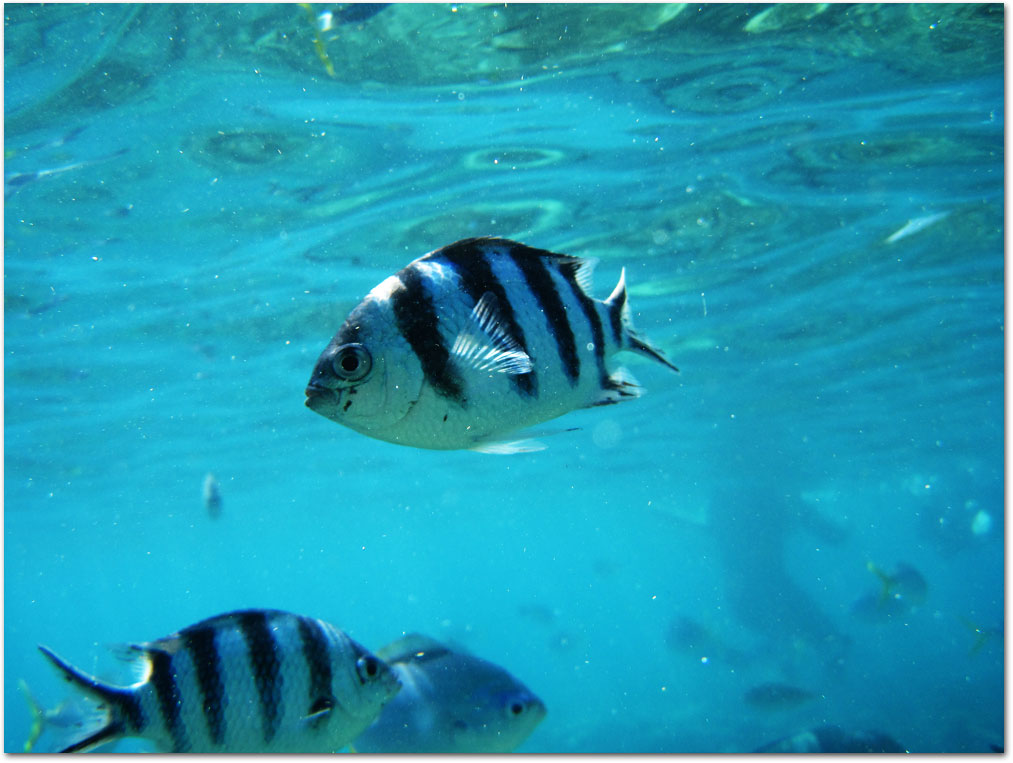 Fish swimming at Whitsundays