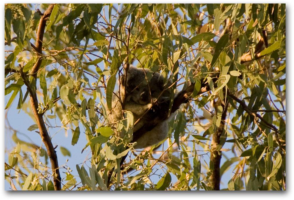 Baby koala close up
