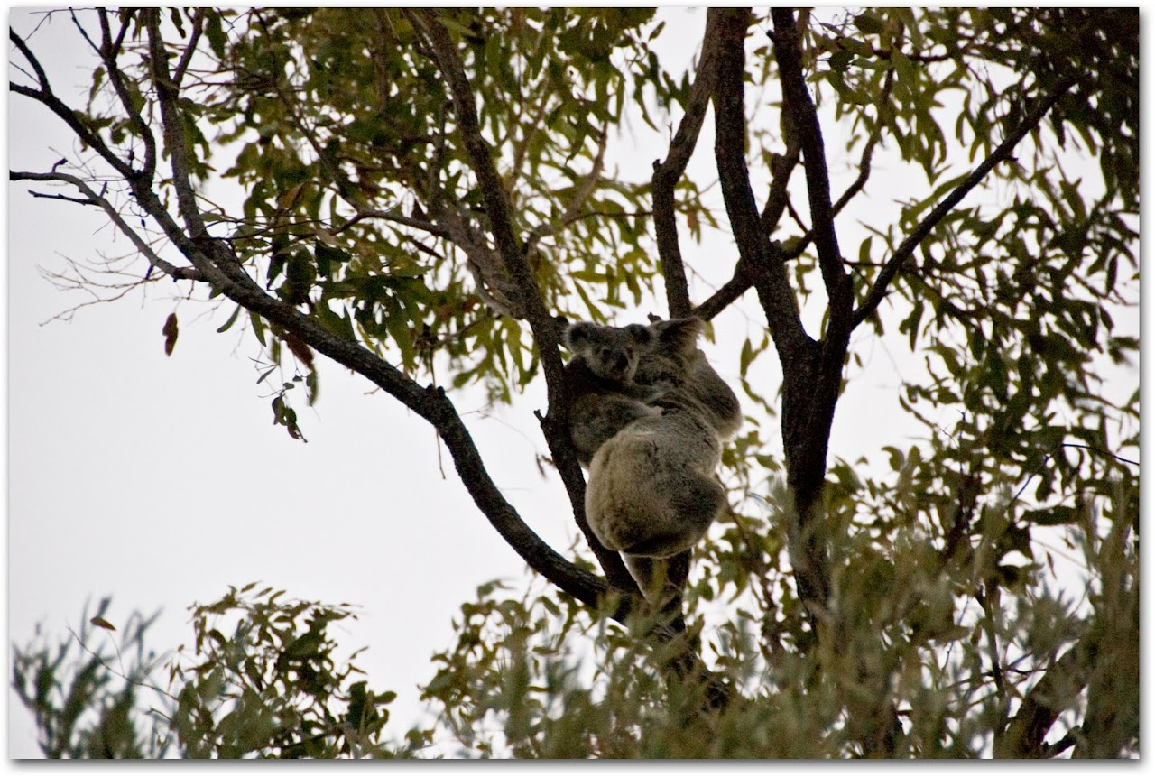 Baby koala with mother in tree on Magnetic Island