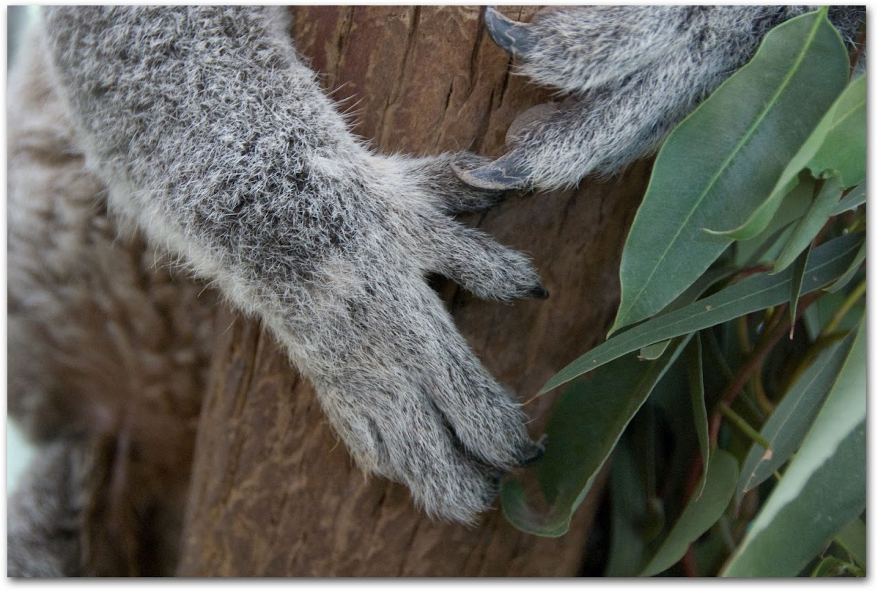 Koala paws